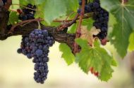 Amur Grape 5 Seeds- Deep Crimson Foliage&Delicious Fruits